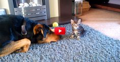 This Big Dog Is Begging A Tiny Kitten To Play With Him And It's Absolutely Adorable! | The Animal Rescue Site Blog