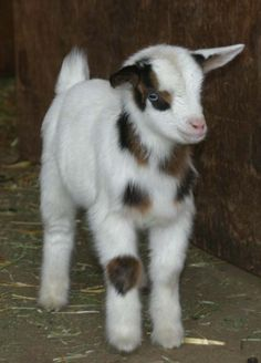 Tennessee Fainting Goat.. right side up.