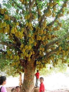 This Jackfruit tree is crazy!! I have never seen so many on one tree!!