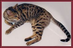 Bengal Cat in Bathtub.