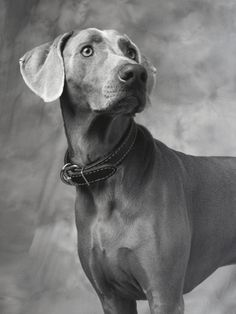 Weimaraner Photographic Print by Lawrence Manning at Art.com