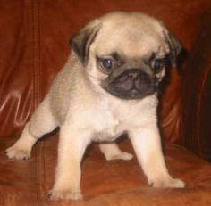 Baby Pug. <3 <3