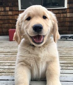 Mind Blowing Facts About Labrador Retrievers And Ideas. Amazing Facts About Labrador Retrievers And Ideas. Golden Retrievers, Chien Golden Retriever, Really Cute Dogs, Love Dogs, Puppy Care, Pet Puppy, Happy Dogs, Happy Smile, Retriever Puppy