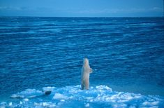 News Release: Polar Bears and the Climate-Change Denial Machine