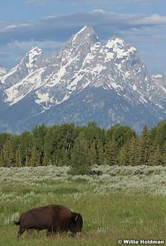 Lone buffalo with Tetons by Willie Holdman
