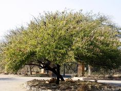 Acacia hebeclada - Google Search Acacia, Trees To Plant, Google Search, Plants, Tree Planting, Plant, Planets
