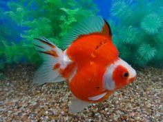 Lot# 10339 SHOW QUALITY Sakura Short Tail Ryukin Ryukin Goldfish, Comet Goldfish, Home Aquarium, Aquarium Fish, Koi, Discus Fish, Cool Fish, Water Life, Angel Fish