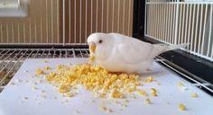 Muhabbet kuşlarının damaklarını şenlendirme zamanı Evde muhabbetine doyamadığımız kuşlara özel mama yapmak ister misiniz? Tarif ajanimo.com'da.. #ajanbrian #ajanimo #kuş #bird #köpek #cat #dog #love #hayvansevgisi #animal #animals #hayvanhakları #doğa