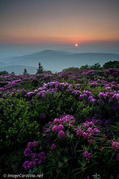 Roan Mountain on the Tennessee / Virginia / North Carolina borders famous for its Rhodedendron and is on The Appalachian Trail.