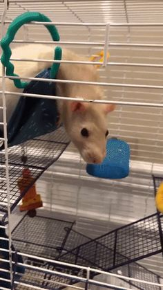 Just a nibble #aww #cute #rat #cuterats #ratsofpinterest #cuddle #fluffy #animals #pets #bestfriend #ittssofluffy #boopthesnoot