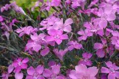 Gożdzik siny - Dianthus gratianopolitanus Blauigel bylina niska, skalna, roślina , na klasyczne skalniaki, okrywowa, na rabaty, kwiat różowo-czerwony (VI-IX), wys. 20, wilgotność przeciętna, stanowisko słoneczne, gleba piaszczysto-gliniasta, obojętna, mrozoodporność zadowalająca