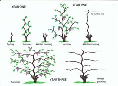 The simplest and cheapest way to grow a new grape vineis to propagate it from a cutting of an established vine. Description from urbanwinegrower.wordpress.com. I searched for this on bing.com/images