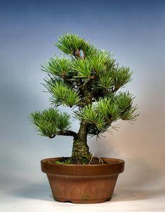 Helpful Guidelines In Growing Indoor Bonsai Trees Japanese White Pine Bonsai By Mariusz. Pine Bonsai, Bonsai Art, Bonsai Plants, Bonsai Garden, Bonsai Trees, Indoor Bonsai, Miniature Plants, Patio Plants, Growing Tree