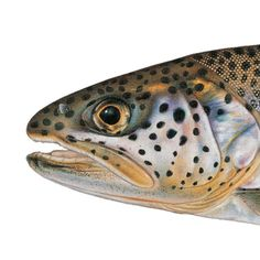 Coastal Cutthroat Trout. Illustrated and © by Joseph R. Tomelleri.