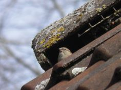 Mus bij nest (30-03-2014, Echten)