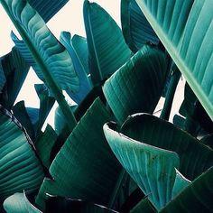 #tgif #garden #paradise #palmtrees #tropics #inspiration #beach #calistyle #california #summer #fridays #cheers #beachvibes #friday #pictureperfect #summerinspo #summertime #blessed #desertvibes #fridayvibes #bananapalm #palms #goodmorning