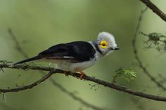 Gallery of White-crested Helmetshrike (Prionops plumatus) | the Internet Bird Collection (IBC) | HBW Alive