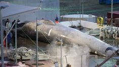 Whale killed in iceland was a rare hybrid of a blue and fin whale.