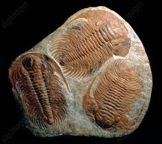 Trilobite fossils. Three fossilised Acaparadoxides briaerus trilobites. These trilobites lived during the Middle Cambrian period (around 540–523 million years ago). The trilobites are an extinct group of marine arthropods with a hard, segmented shell that is divided into 3 sections. Most were bottom dwellers, feeding and living on organic sediment on the ocean floor. Found in Morocco.