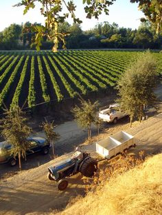 A typical vineyard scene from Borra Vineyards during harvest.