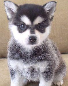 I am in LOVE with Alaskan Klee Kai's..it looks like a little raccoon. <3