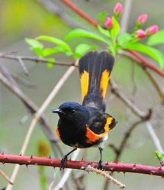 The American Redstart (by Glenn Hanson) is a common migrant warbler to the Caribbean. Seen in all habitat types, these lively birds hunt by fanning their tail. All Birds, Love Birds, Beautiful Birds, Central America, South America, Song Sparrow, Bird Watching, Old World, Habitats