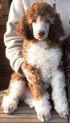 Standard Poodle, Miami Clip Beautiful Dogs Pinterest