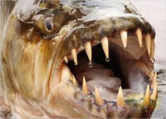 Goliath Tiger Fish - A Water Monster from the Congo River Africa. This fish has a message. Jeremy Wade, Scary Animals, Unusual Animals, Deadly Animals, Strange Animals, Dangerous Fish, Scary Fish, Tiger Fish, Congo River