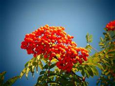 Rowanberries | Photo: Maria Seilonen