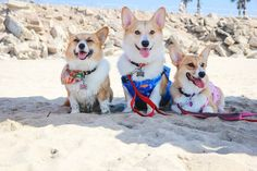 SoCal Corgi Beach Day [April 11, 2015]  Is Expecting 500 Corgis This Time : laist