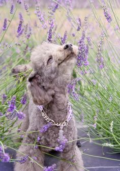 #poodle #poodles Aaaahhhhhh....The smell of #Lavender