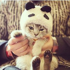 My two favorite things pandas and kitty cats. Baby Animals, Funny Animals, Cute Animals, Wild Animals, Cute Kittens, Cats And Kittens, I Love Cats, Crazy Cats, Kittens In Costumes