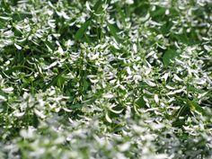 Euphorbia Diamond Frost - May 2013