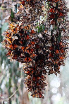 monarch butterflies  I have been to CA groves @ Pacific Grove & Pismo Beach