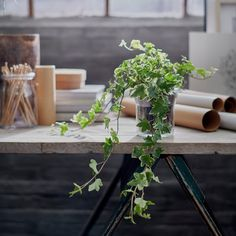 IKEA - HEDERA HELIX, Potted plant, Ivy assorted, Decorate your home with plants combined with a plant pot to suit your style. Native to Europe. Sensitive to draught. Hedera Helix, Ivy Plants, Potted Plants, Fast Growing Climbers, Decoration Plante, Ikea Home, Green Garden, Centre Pieces, Vases