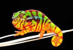 Panther Chameleon - Thorston Negro