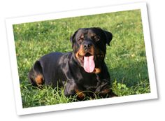 Rottweilers originated in Germany to protect cattle. This breed is bold and confident, yet laid back and friendly. They are protective of their family and need plenty of exercise.
