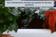 Some people want a flowering garden that needs little effort. in this article, you'll find ideas to low maintenance window box plants for the lazy gardener.