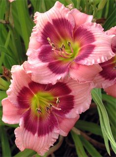 Daylily 'Mardi Gras Parade'. Looks like an actual pink daylily- usually they're really peach even when they're advertised as pink.