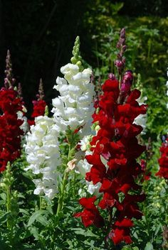 Red and White Snapdragons