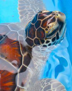 The Galapagos Tortoise Fact Sheet Baby Sea Turtles, Cute Turtles, Sea Turtle Pictures, Hawaiian Sea Turtle, Beautiful Sea Creatures, Tortoise Turtle, Turtle Love, Tortoises, Ocean Life