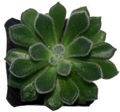 Echeveria Setosa - Fuzzy Succulent Rosette