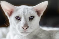Little-Known Facts About Siamese Cats