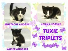Three cute tuxie kittens are 5 weeks old and need foster. Helen has a heart murmur and will require further medical eval to rule out any congenital defect.