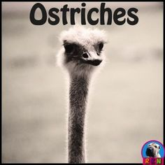 Ostriches PowerPoint and Activities: Learn all about ostriches in this interactive PPT presentation. This nonfiction resource about the gigantic flightless bird is full of information, photos, illustrations, riddles, and fun facts. Its designed for teac Elementary Science, Science Education, Science And Technology, Elementary Schools, Upper Elementary, Science Lessons, Science Activities, Classroom Activities, Flightless Bird