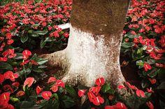 www.phosfotografia.com  #fiori #flowers #red #rosso #natura #giardino #albero #tree #fotografia #photography #phos #phosfotografia