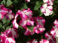 50 Impatiens Seeds Impatiens Cascade Beauty Sweetness