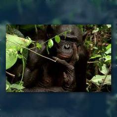 Free-loving 'Hippie Chimps' Face Extinction