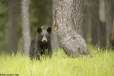 Parks Canada - Bears in the Mountain National Parks - Bear Update - Banff, Yoho, Kootenay