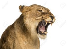 Find Closeup Lioness Roaring Panthera Leo 10 stock images in HD and millions of other royalty-free stock photos, illustrations and vectors in the Shutterstock collection. Thousands of new, high-quality pictures added every day. Lion Photography, Lioness Tattoo, Lion And Lioness, Roaring Lion, 10 Year Old, 10 Years, Cat Drawing, Big Cats, Pet Birds